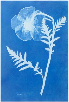 Anna Atkins Cyanotypie
